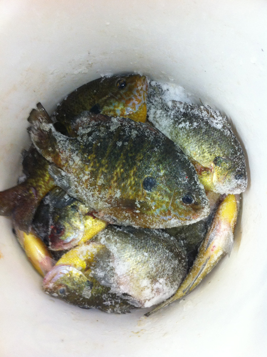 Bluegills filling up the hole in the ice.
