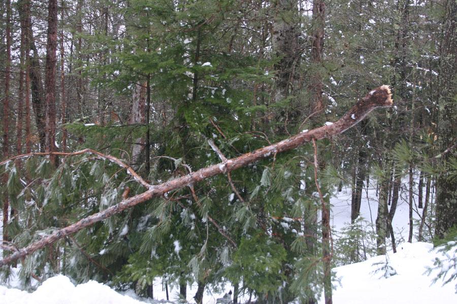 Ice laden pine.