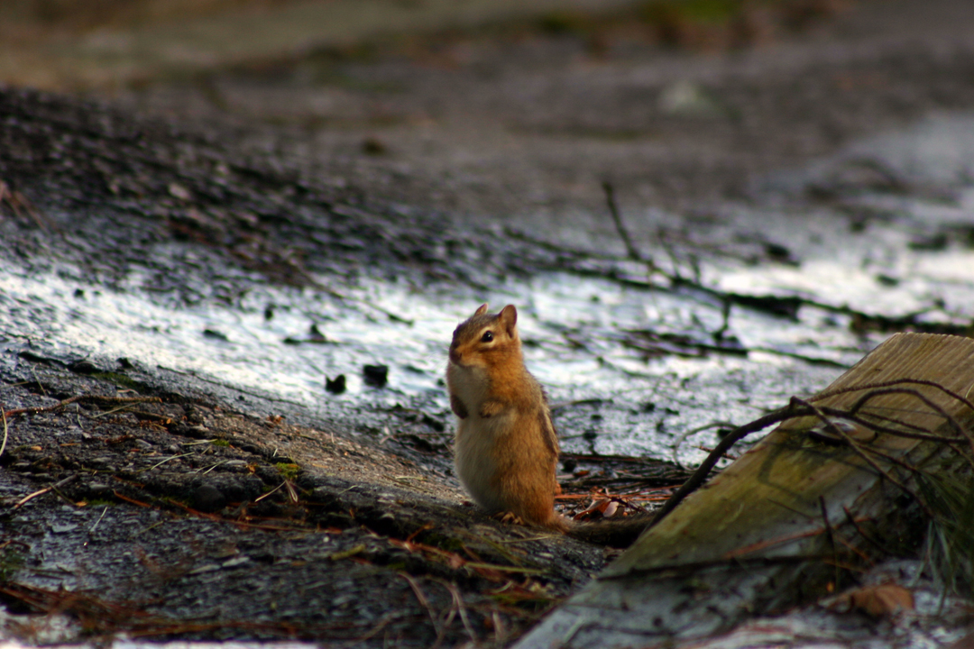 The chipmunks are enjoying the spring weather. Time for me to get the peanuts as this little guy was already begging.