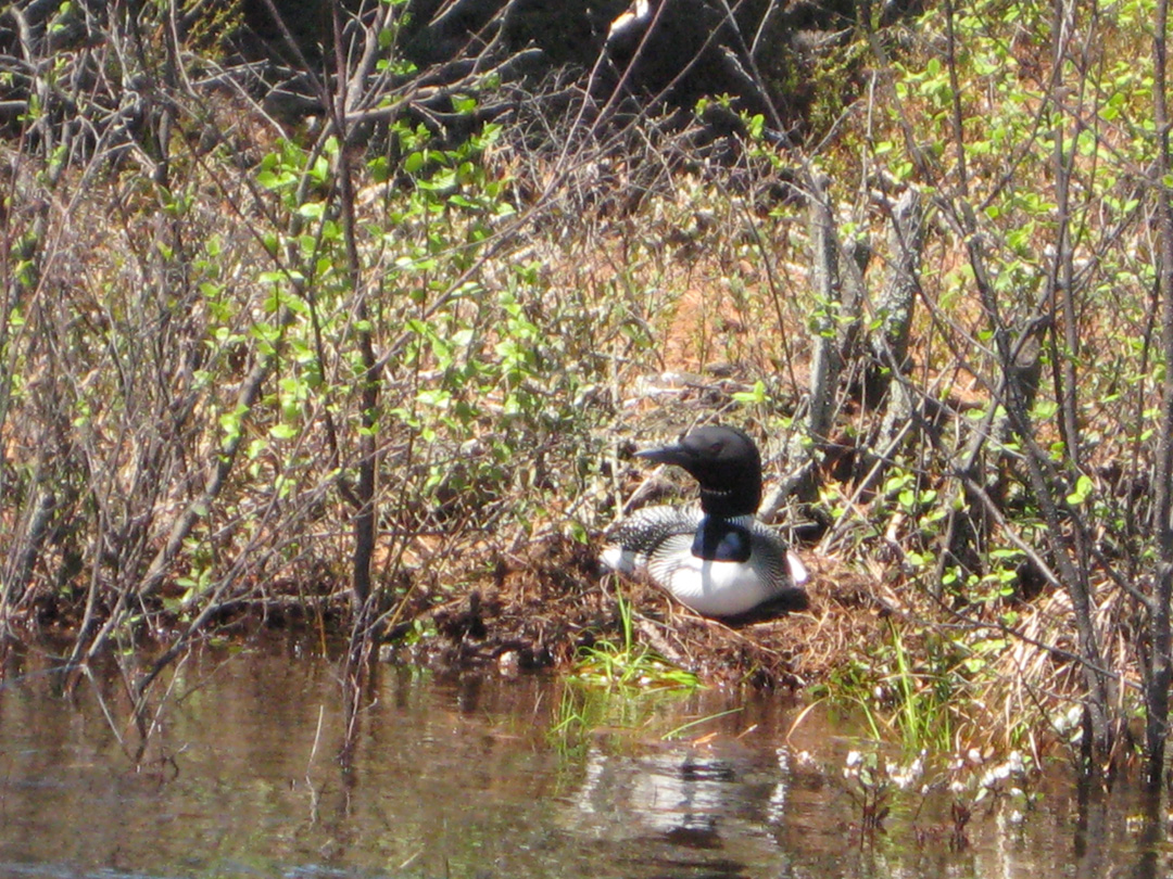 They came across a loon sitting on it''s nest.